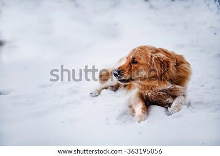 A Golden Retriever dog lying in the snow. - stock photo