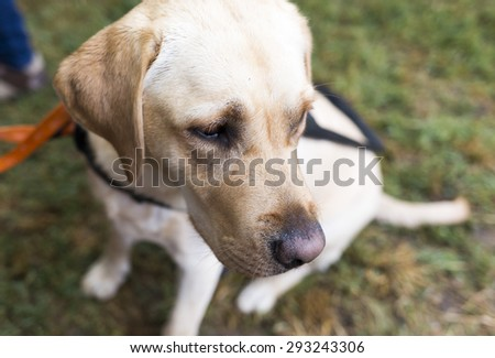 A golden retriever guide dog during the last training for the animal. The dogs are undergoing various trainings before finally given to the physically disabled people.  - stock photo