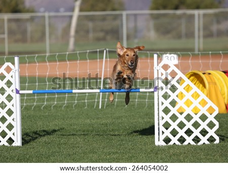 A Golden Retriever jumping over a hurdle during an agility event - stock photo