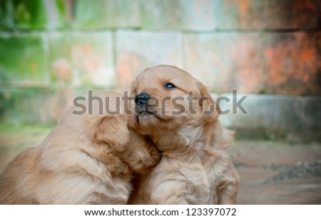 a golden retriever puppy comforting its sad littermate - stock photo
