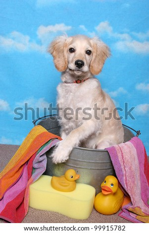 A golden retriever puppy sits in a bath tub with towel, sponge, and yellow rubber ducks - stock photo