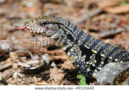 A Golden Tegu (lizard) tasting the air with its tongue and shedding its skin - Iguazu - stock photo