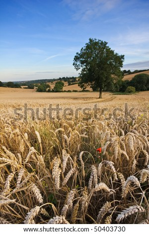 A golden wheat field in summer, with blue sky in the background. Single tree and red poppy in the foreground with tyre tracks running through the frame. Copyspace for your text/design in the sky. - stock photo