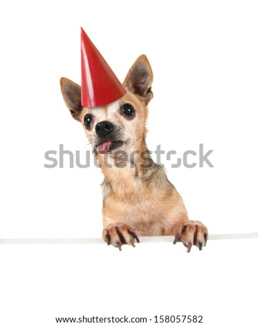 a goofy chihuahua holding a sign and a party hat on - stock photo