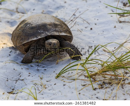 A Gopher Tortoise walks along a sandy trail looking for food. - stock photo