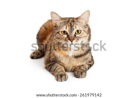 A gorgeous Domestic Shorthair Tortie Cat laying while looking directly into the camera.  - stock photo