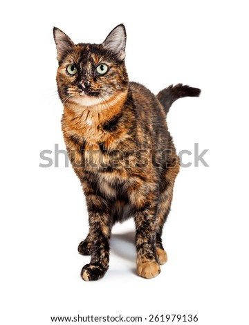A gorgeous green eyed Domestic Shorthair Mixed Breed Calico Cat standing while looking off to the side.