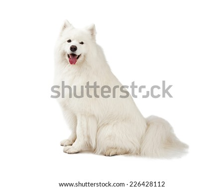 A gorgeous Samoyed Dog sitting sideways to the camera.  Mouth is open.  - stock photo