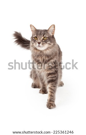 A gorgeous Tabby Cat walking towards the camera and looking out into the distance.  - stock photo