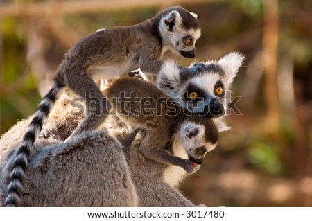A goup of cute ring-tailed lemurs with the baby monkeys on mothers back - stock photo