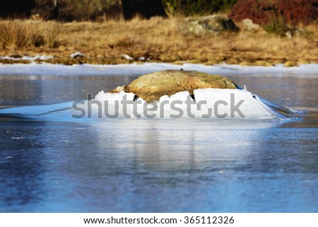 A granite boulder pushes through the ice surface as the ice level lowers. This forms a fine ice hill around the stone. A natural ice formation with beauty. Natural forces at play. - stock photo