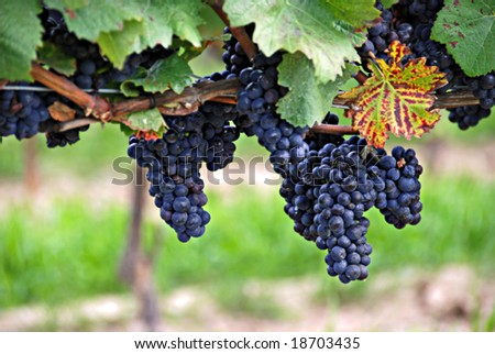 A grapevine in the plantation of grapes (Niagara-on-the-Lake, Ontario, Canada) - stock photo