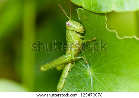 A grasshopper eating plant leaf - stock photo