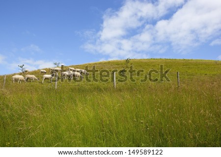 a grassy hillside in the yorkshire wolds england with sheep grazing and wildflowers in the foreground under a blue sky with white cloud in summer - stock photo