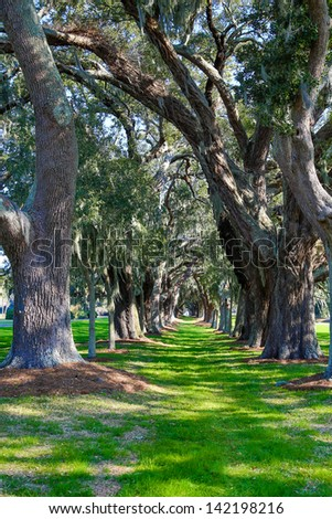 A grassy path through rows of old southern oak trees - stock photo