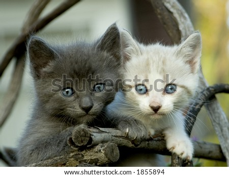 A gray and a white kitten. - stock photo