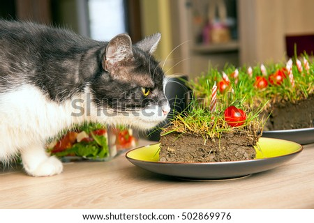 A gray and white cat sniffing a slice of a cake made from ground, grass and cherry tomatoes.