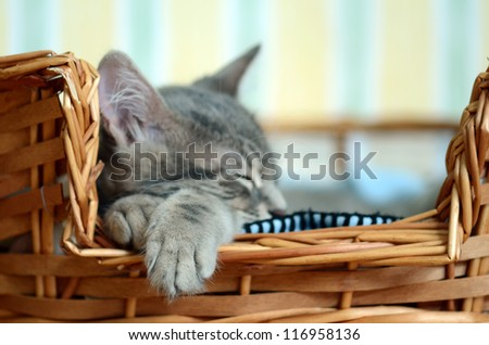 a gray cat / kitten sleeping in basket - stock photo