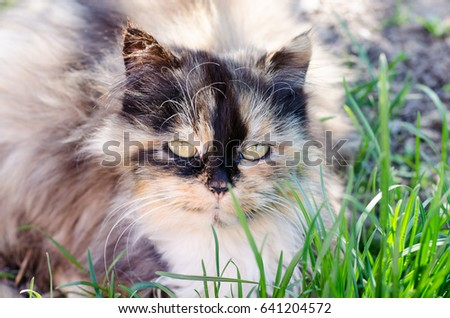 A gray domestic cat lies in the grass and looks with large green eyes