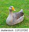 A gray goose on green grass - stock photo