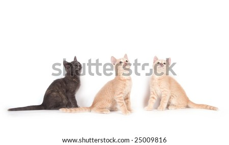 A gray kitten and two yellow cats look up while sitting on a white background