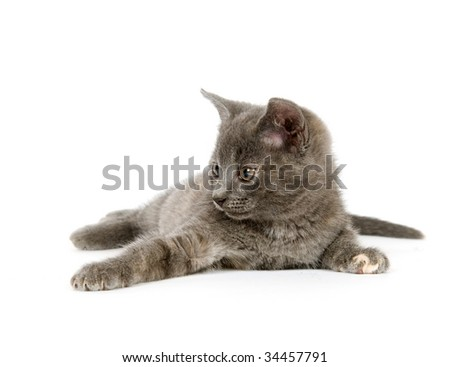 A gray kitten laying down and playing on a white background