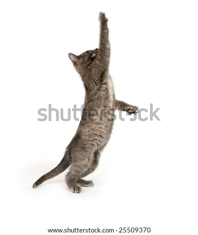 A gray kitten playing on a white background