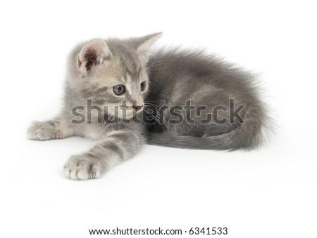 A gray kitten ready to pounce on a white background - stock photo