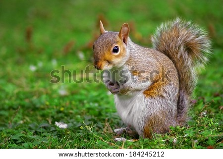 A gray squirrel on the ground with a blurred background. - stock photo