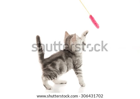A gray  tabby kitten playing with a toy on a white background,isolated - stock photo