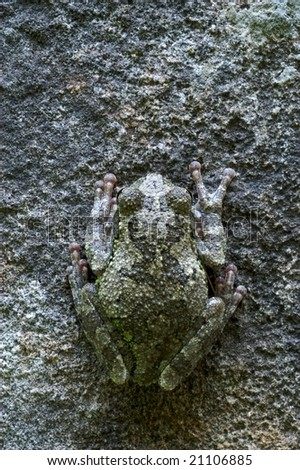 a gray tree frog (Hyla versicolor) sits hidden on a stone - stock photo