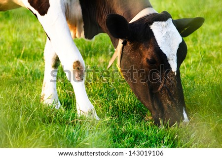 A grazing cow on a green farm field photographed through the grass. - stock photo