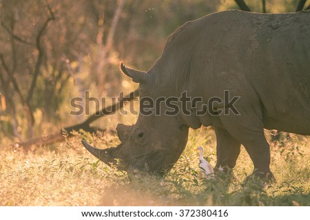 A grazing rhino backlit by the sun - stock photo