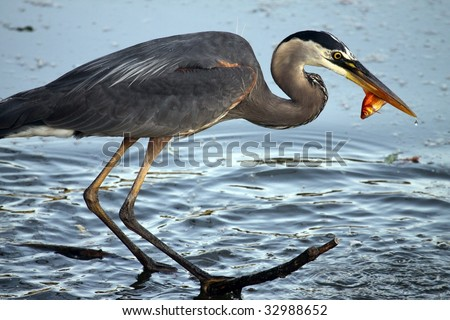 A Great Blue Heron (Ardea herodias) catches a goldfish from a pond.