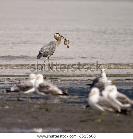 A great blue heron (ardea herodias) with a fish that it has caught in its beak.