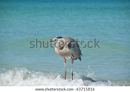 A Great Blue Heron crouches in the shallow waters of a Gulf Coast Florida beach. - stock photo
