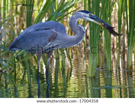 A great blue heron eating a catfish