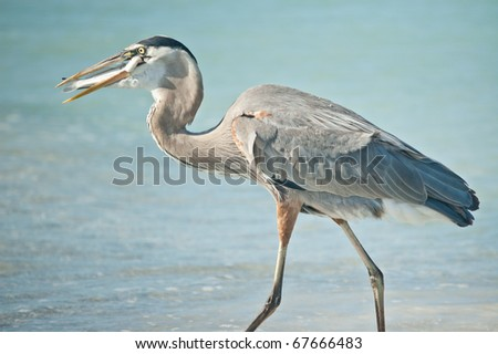 A Great Blue Heron eats a fish it has just caught on a Florida beach. - stock photo