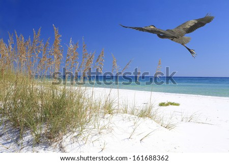 A Great Blue Heron Flying Over a Beautiful White Sand Beach - stock photo