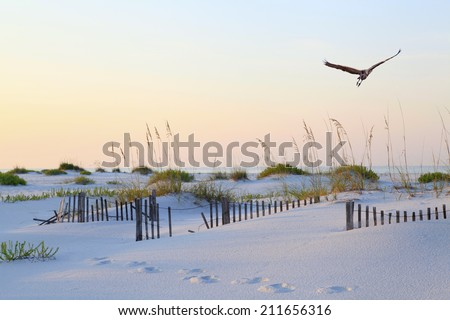 A Great Blue Heron Flying Over a Beautiful White Sand Florida Beach at Sunrise - stock photo