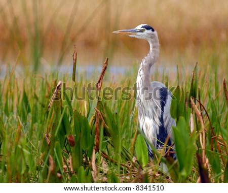 A great blue heron in his natural habitat.  Shallow depth of field with focus on bird's eye. - stock photo