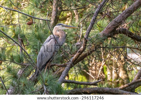 A Great Blue Heron resting in a pine tree on a small lake just off the Chesapeake Bay