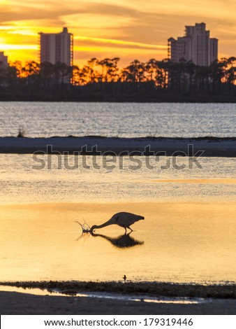 A Great Blue Heron silhouetted by golden sunset waters feeding in the shallows across from Perdido Key, Florida - stock photo