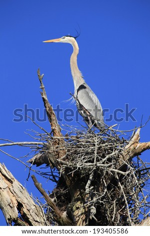 A Great Blue Heron Standing in it's Nest as it watches a Nearby Osprey  - stock photo