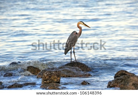 A Great Blue Heron standing on rocks looking for fish on the Chesapeake Bay in Maryland - stock photo