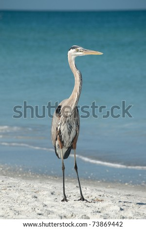A Great Blue Heron stands on the sand with blue sky and ocean in the background.