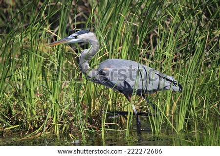 A Great Blue Heron Wading Through the Cattails looking for it's Next Meal - stock photo