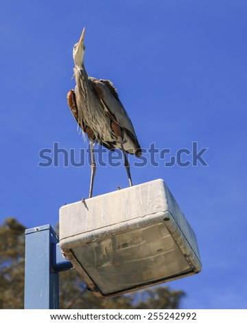A Great Blue Heron watches as fisherman try to catch fish with a spring blue sky in background. - stock photo