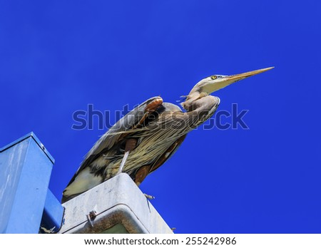 A Great Blue Heron watches as fisherman try to catch fish with a spring blue sky in the background. - stock photo