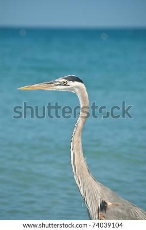A Great Blue Heron  with blue sky and ocean in the background. - stock photo
